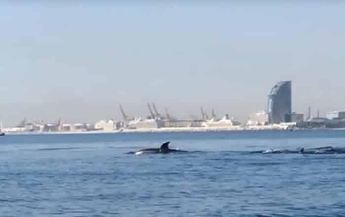 [VIDÉO] Des dauphins face à la plage de Barcelone